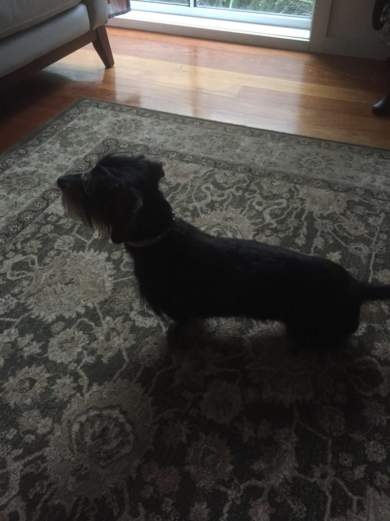 Silhouette of Scout - a true sausage dog!