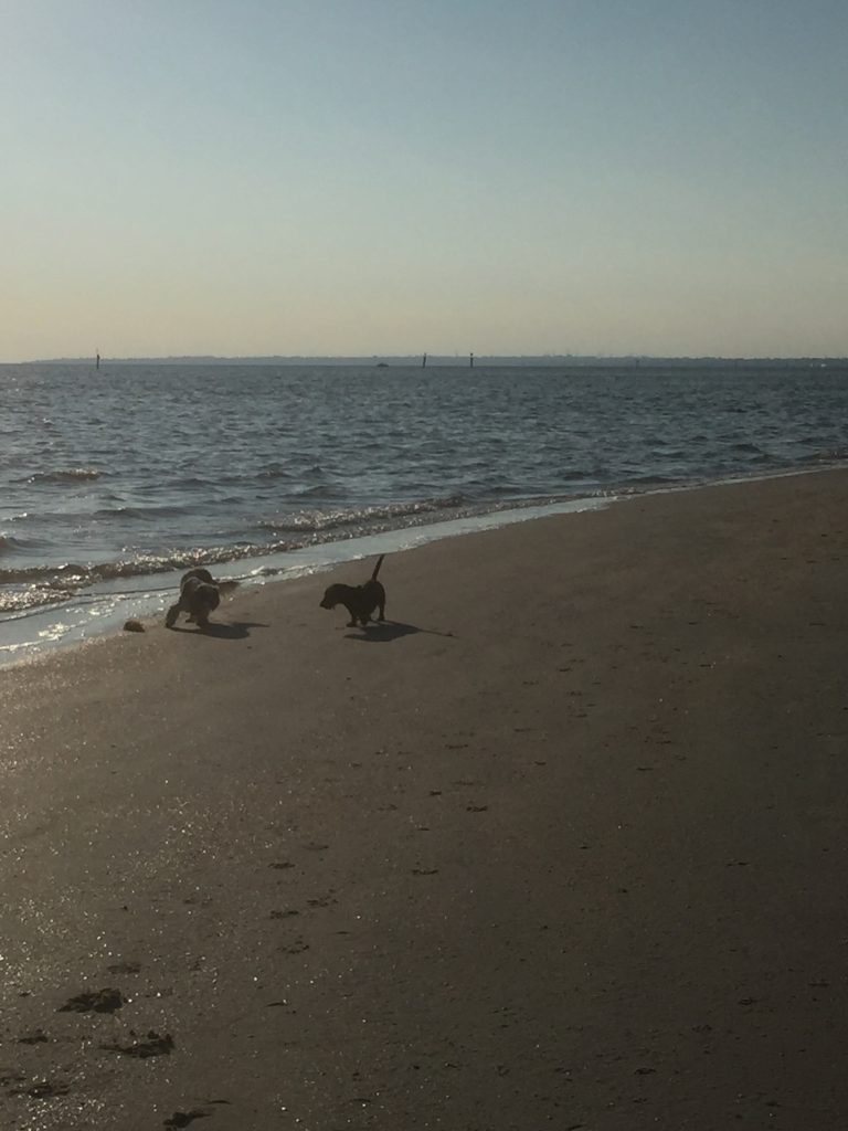 Poppy and Scout chasing each other on the sand.