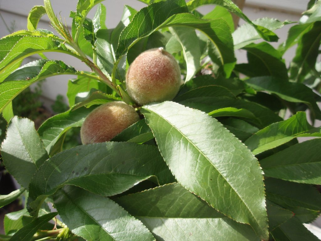 Baby peaches growing.