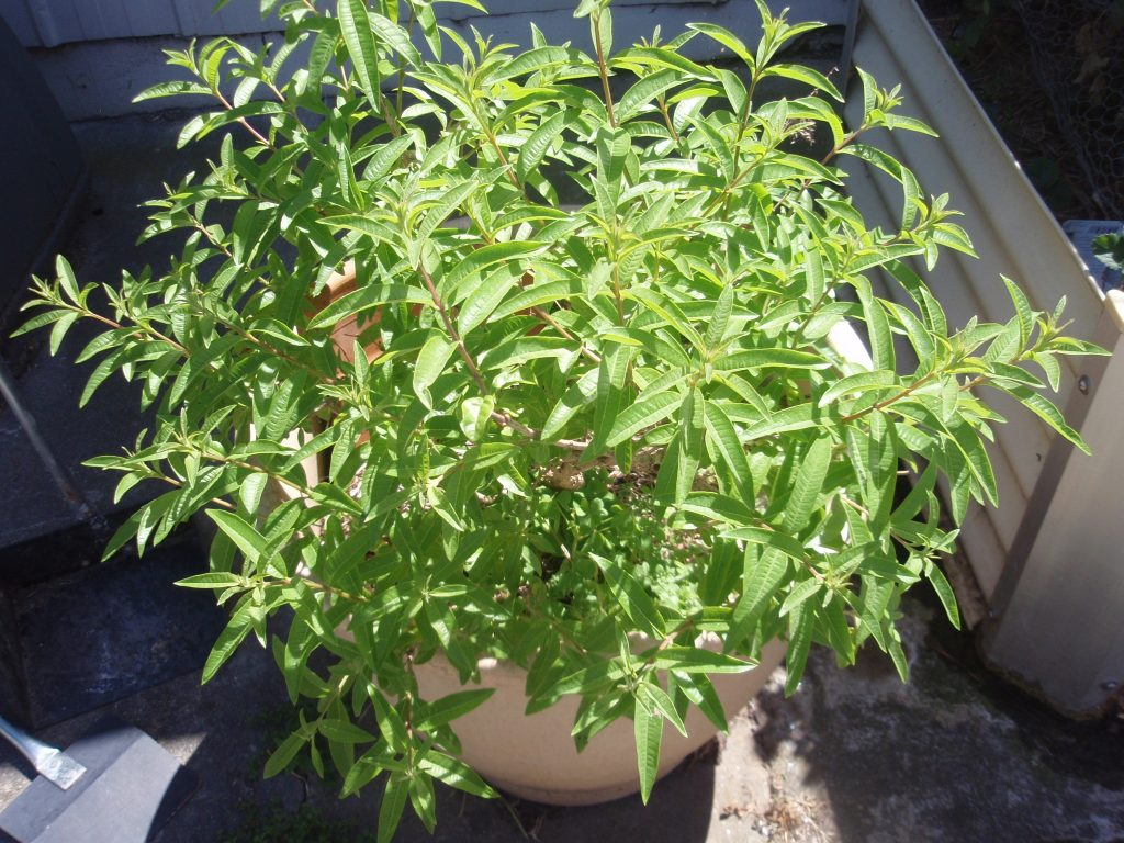 Lime verbena plant.