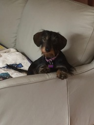 Photo of my mini wire-haired dachshund, Scout.
