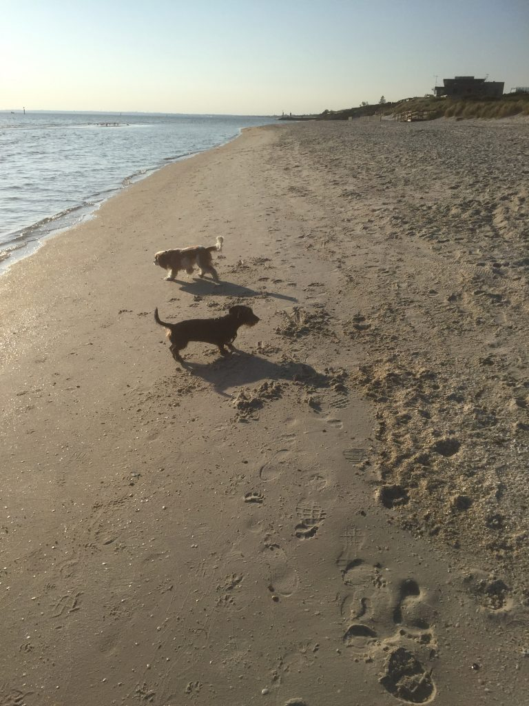 Poppy and Scout at the dog beach.