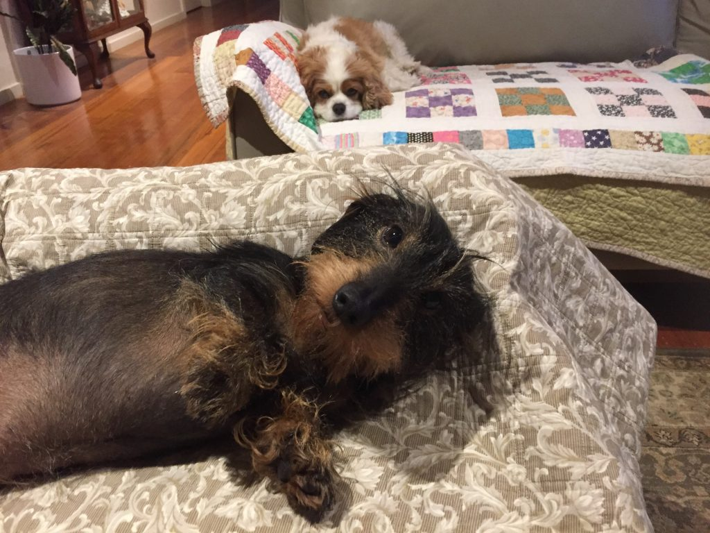 Cavalier and Dachshund on the couch.