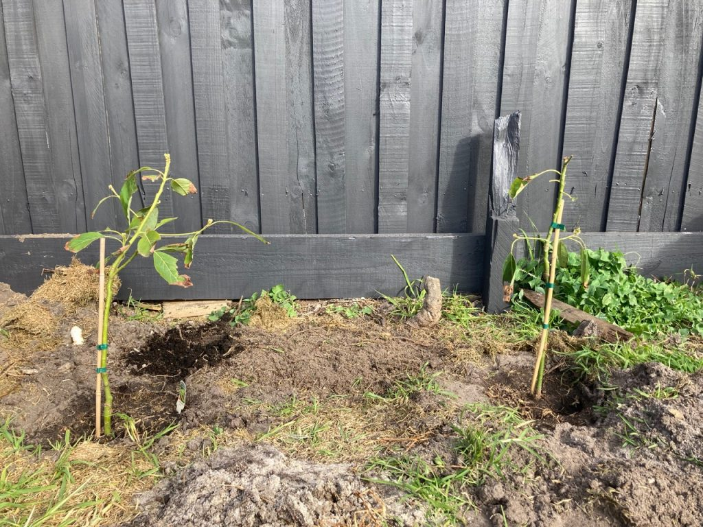 Two sickly looking avocado trees.