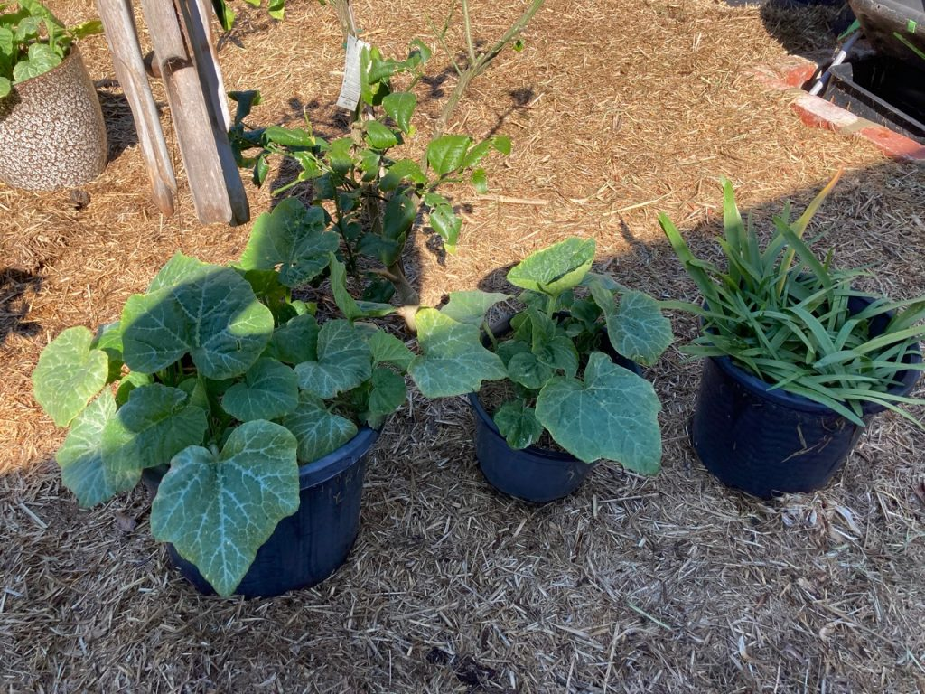 Black plastic pots - big ones - with pumpkin plants.