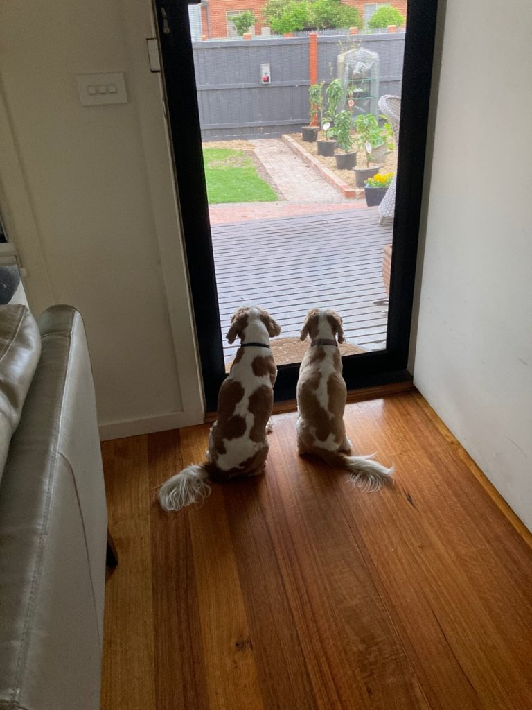 Cavaliers sitting at the front door.