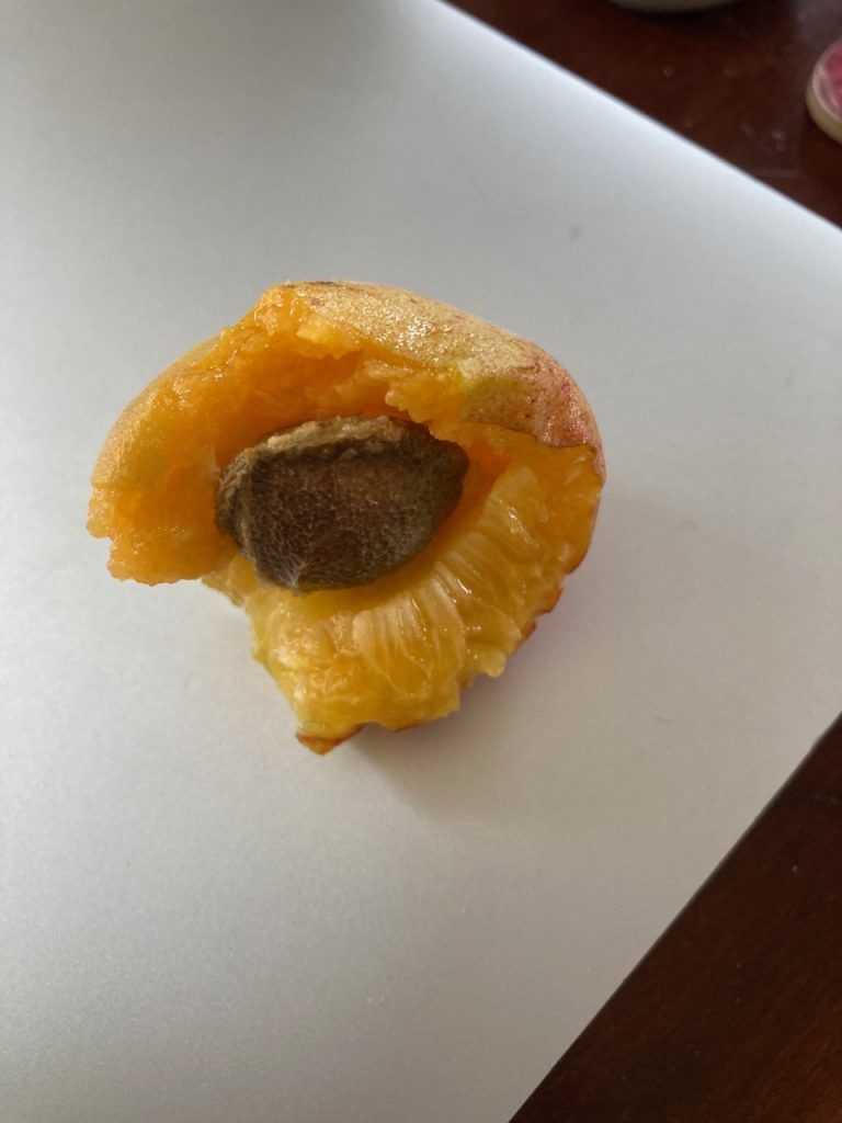 Bitten-into apricot from my tree.