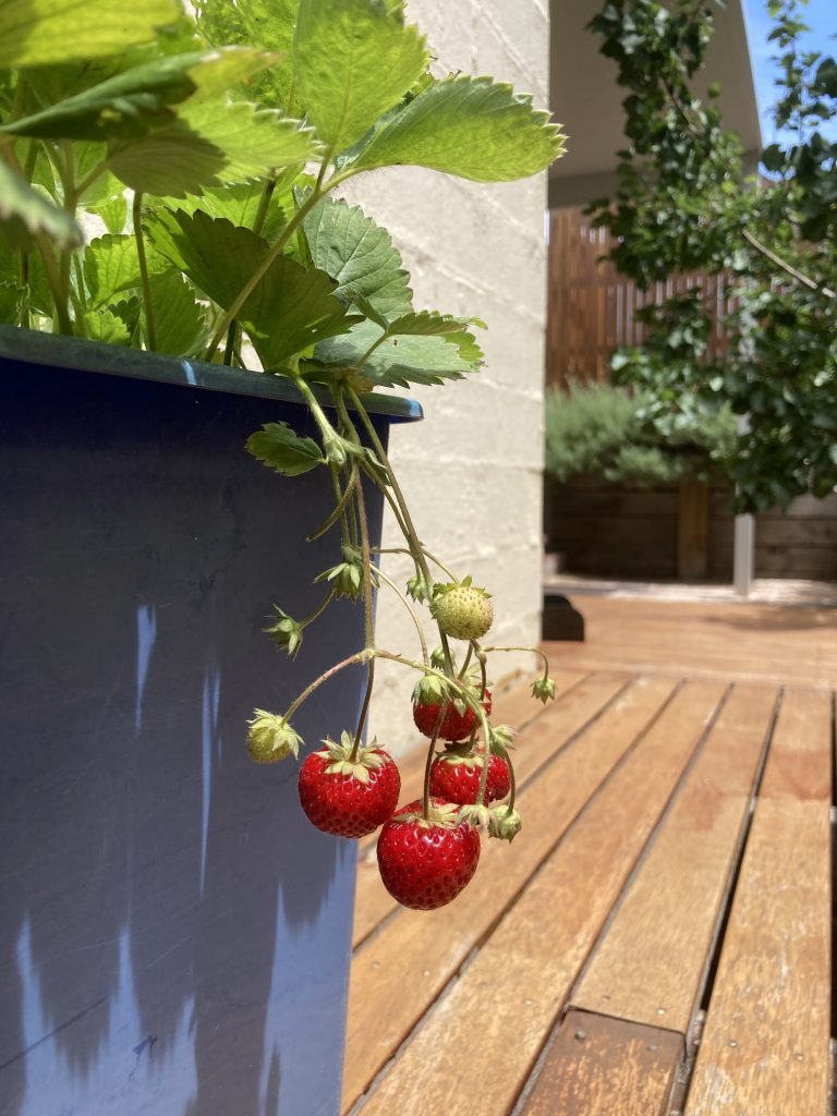 Strawberries hanging free.