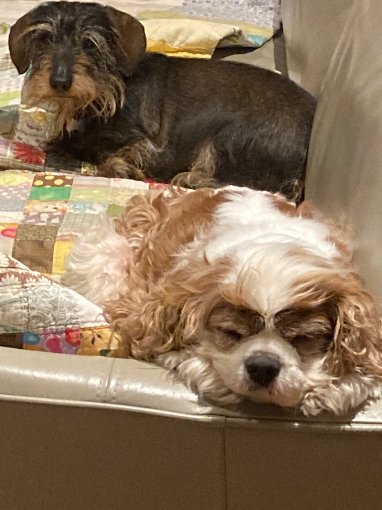 Cavalier asleep on a couch with a dachshund behind him.