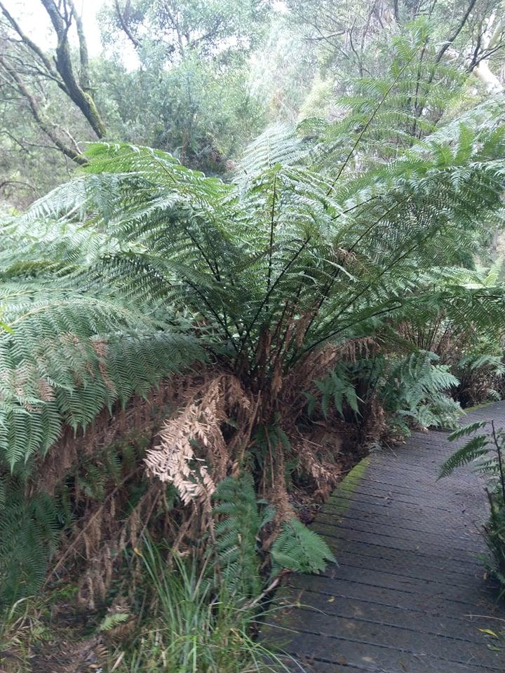 Big tree fern.