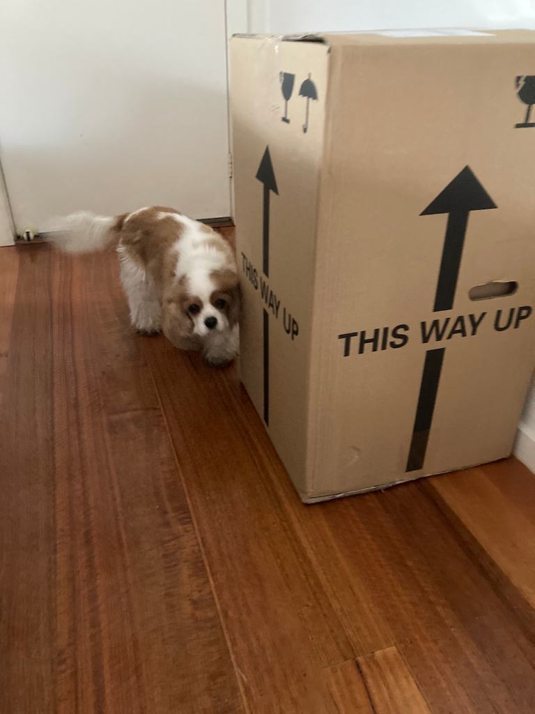 Big box with Poppy ( a cavalier) sniffing it.