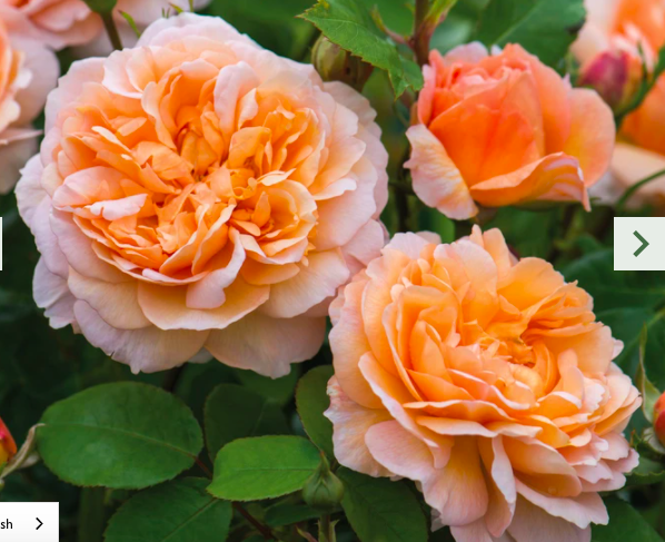 Rose - apricot coloured blooms.
